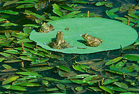 Three frogs share a sunny lily pad