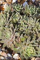 Sempervivum Red Rubin