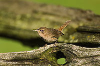 House Wren (Troglodytes aedon). Spring. Point Pelee National Park, Ontario. Canada. Spring. Lake Erie.
