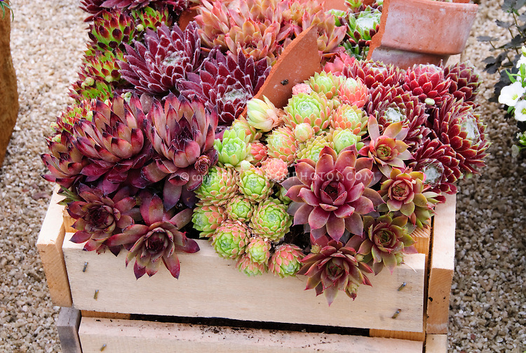 Mixed sempervivum planted in wooden crate box container pot