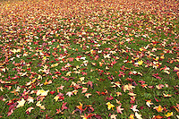 Red, yellow and orange Sweetgum tree leaves cover the recently greened grass at a neighborhood park in northern California.