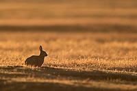 European rabbits are an invasive species in the San Juan Islands.