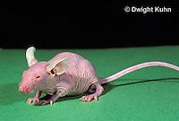 MU53-008z  Hairless Mouse - genetically bred, mutation
