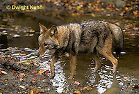 MA27-080z  Eastern Coyote - Canis latrans