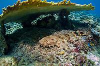 ornate wobbegong, Orectolobus ornatus, lying beneath a table coral during the day, Dampier Strait, Kri Island, Raja Ampat, West Papua, Indonesia, Pacific Ocean