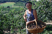 Europe/France/Rhône-Alpes/42/Loire/Valfleury : Producteur de cerises<br /> PHOTO D'ARCHIVES // ARCHIVAL IMAGES<br /> FRANCE 1990
