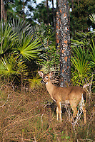 Florida Key Deer (Odocoileus virginianus clavium).  National Key Deer Refuge, Florida.