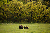 Bison graze along the Wildlife Loop Road in Custer State Park in South Dakota on Sunday, May 21, 2017. (Photo by James Brosher)