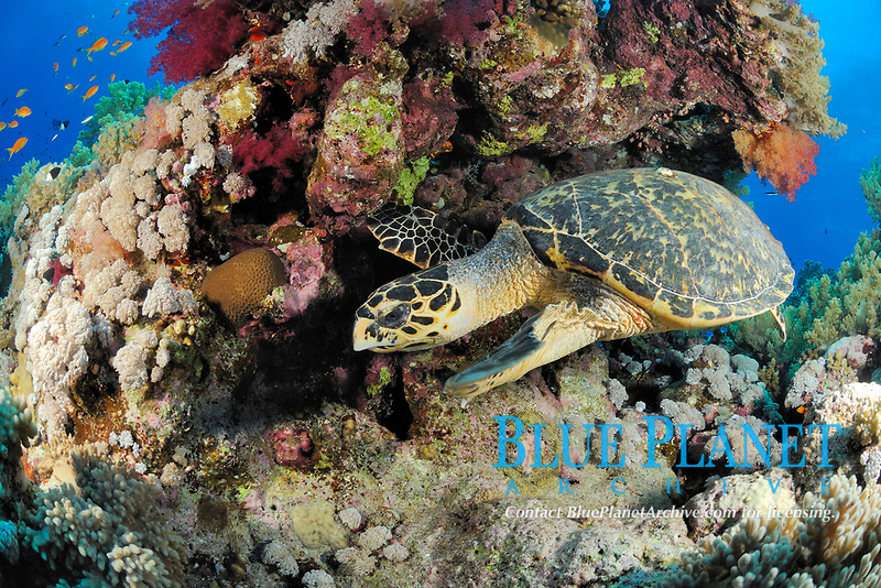 hawksbill sea turtle, Eretmochelys imbricata, Hamata coast, Egypt, Red Sea, Indian Ocean