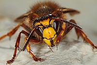 Mittlere Wespe, Kleine Hornisse, Portrait, beim Putzen, putzt sich, Dolichovespula media, Langkopfwespen, Langkopfwespe, median wasp, Vespidae, Echte Wespe