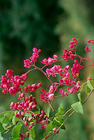 Blooming Coral vine, Antigonon leptopus, Polygonaceae, a native of Mexico that has found a foothold in the US