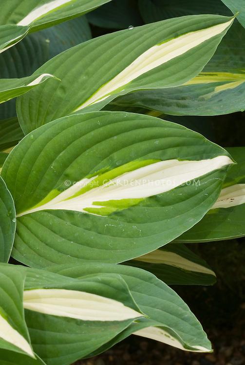 Hosta 'Risky Business wide green edge margin and white center, perennial shade garden foliage plant
