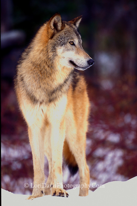 Timber Wolf in Snow  #Z5