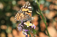 Australian Painted Lady Butterfly in the Hunter Valley, New South Wales
