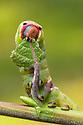Puss Moth caterpillar {Cerula vinula} feeding on Goat Willow {Salix caprea}, Derbyshire, UK. May.