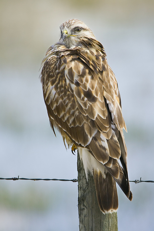 Rough-legged hawk watching over its shoulder