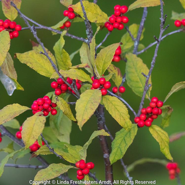 Winterberry growing in northern Wisconsin.