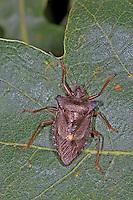 Rotbeinige Baumwanze, Pentatoma rufipes, forest bug, Baumwanzen, Pentatomidae, stink bugs