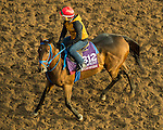 ARCADIA, CA - NOV 01: Mongolian Saturday, owned by Mongolian Stable and trained by Enebish Ganbat, exercises in preparation for the Breeders' Cup Turf Sprint at Santa Anita Park on November 1, 2016 in Arcadia, California. (Photo by Douglas DeFelice/Eclipse Sportswire/Breeders Cup)