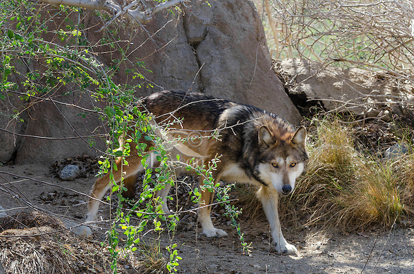 Mexican Wolf or Mexican Gray Wolf (Canis lupus baileyi)--a highly endangered species.  Found only in the desert sothwest (USA) and northern Mexico.  (Photographed at The Living Desert Zoo & Gardens, Palm Springs, CA)