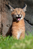 Young Caracal Kitten (Caracal caracal) yawning.  Caracals are found in Africa to Central Asia and India.