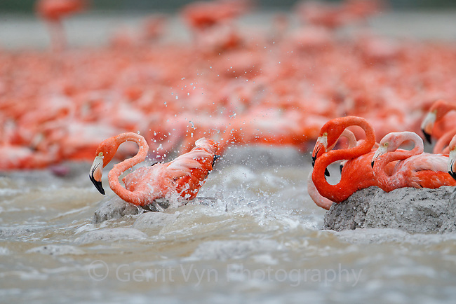 American Flamingo (Phoenicopterus ruber) nests being flooded in a storm. Yucatan, Mexico.