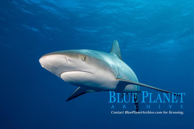 Caribbean reef shark, Carcharhinus perezii, Bahamas, Caribbean, Atlantic