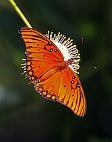 Gulf fritillary on buttonbush