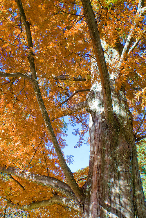 Metasequoia glyptostroboides Dawn Redwood in autumn, one of original seedlings collected from the discovery in western China in autumn color, conifer