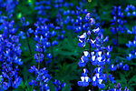 Lupine photographed in Deer Park campground, Olympic National Park with shallow depth of field. Olympic Peninsula