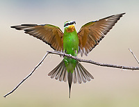 This was one of several new avian species seen during this trip. We found this lovely bee-eater in Lake Manyara National Park.