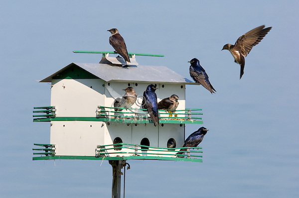 Purple Martins (Progue subis) nesting in 'martin house'. Spring. Near Niagara Falls, Ontario. Canada.