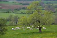 Europe/France/Bourgogne/89/Yonne/Env de Vèzelay : Paysage de paturages au printemps et élevage Charolais