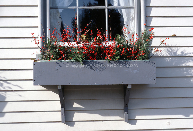 Windowbox on house with winter red holly berries Ilex and evergreens pine branches