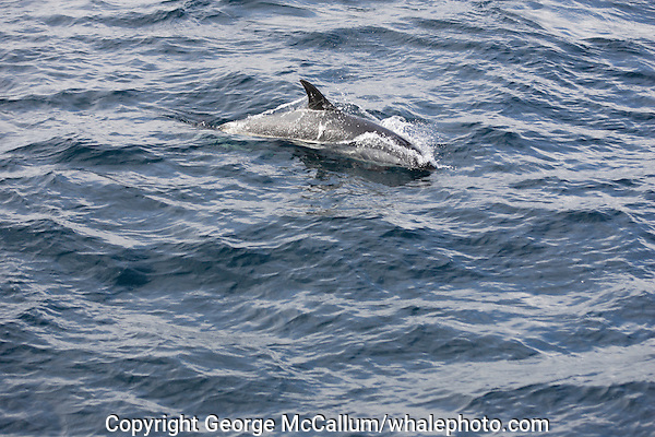 Atlantic white sided dolphin (Lagenorhynchus acutus) surfacing at speed, showing the distinctive golden chevron on flank. Barents sea, North east atlantic