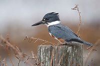 Adult female Belted Kingfisher (Ceryle alcyon). Lacassine National Wildlife Refuge, Louisiana. December.