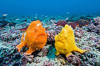 bloody frogfish, Sanguine frogfish, Antennatus sanguineus, pair, Cocos Island, Costa Rica, Pacific Ocean