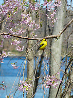 Bird Goldfinch in weeping cherry Prunus tree in flower with blue lake water