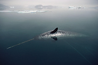 Dead Narwhal, Monodon monoceros, in the water which has been harpooned by Inuit hunters in kayaks. Northwest Greenland. Northwest Greenland, Arctic