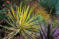 Yucca aloifolia 'Marginata' (Dagger Plant, Spanish Bayonet)) in  Entry Garden, Strybing Arboretum, San Francisco, California