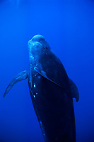 Short-finned Pilot whale, Globicephala macrorhynchus, Pacific Ocean, USA, Hawaii, A Pilot whale hangs vertically in the water. Whales often do this when they are about to spyhop. Mammal