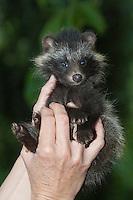 Marderhund, verwaistes Jungtier wird in menschlicher Obhut großgezogen, in der Hand seines Pflegers, Marder-Hund, Enok, Seefuchs, Tierbabies, Tierbabys, Tierbaby, Nyctereutes procyonoides, raccoon dog, Chien viverrin