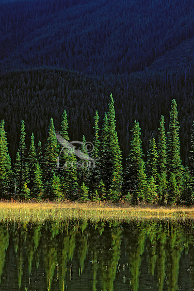 Engelmann Spruce (Picea engelmanni) & Alpine Fir (Abies lasiocarpa) in Banff Nationa Park. Alberta, Canada.<br />Rocky Mountains.