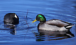 An American coot and a mallard swim in Taylor Creek on Nov. 25, 2012 near South Lake Tahoe, Ca. .Photo by Cathleen Allison