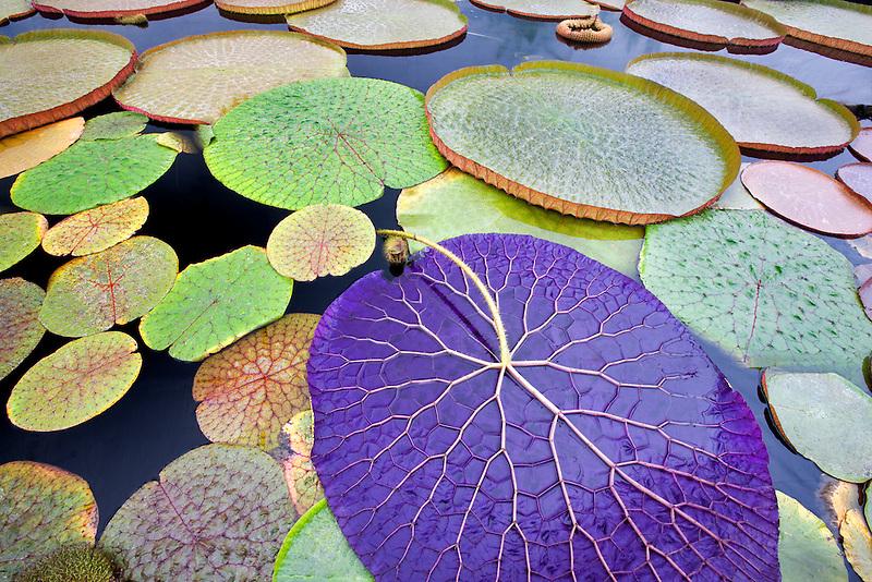 Tropical waterlily leaves. Hughes Water Gardens. Oregon