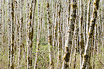 Quinault Rain Forest, Washington; a forest of White Alder (Alnus rhombifolia) trees with their trunks covered in moss and lichen