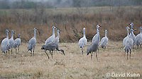 0102-1016  Flock of Sandhill Cranes Eating in Field during Winter, Grus canadensis  © David Kuhn/Dwight Kuhn Photography