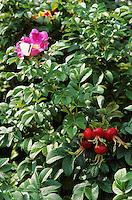 Kartoffel-Rose, Kartoffelrose, Runzel-Rose, Runzelrose, Rose, Blüten und Früchte, Hagebutte, Hagebutten, Rosa rugosa, Japanese Rose