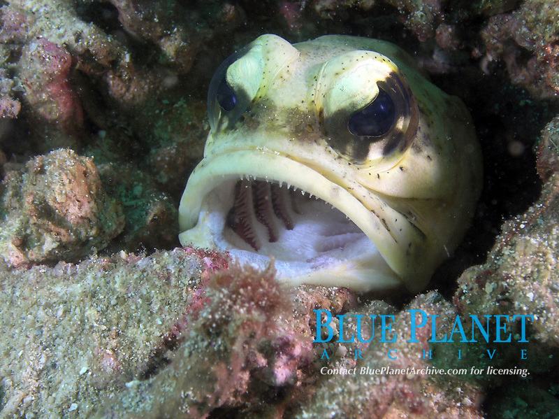 jawfish, Sulu Sea, Pacific Ocean