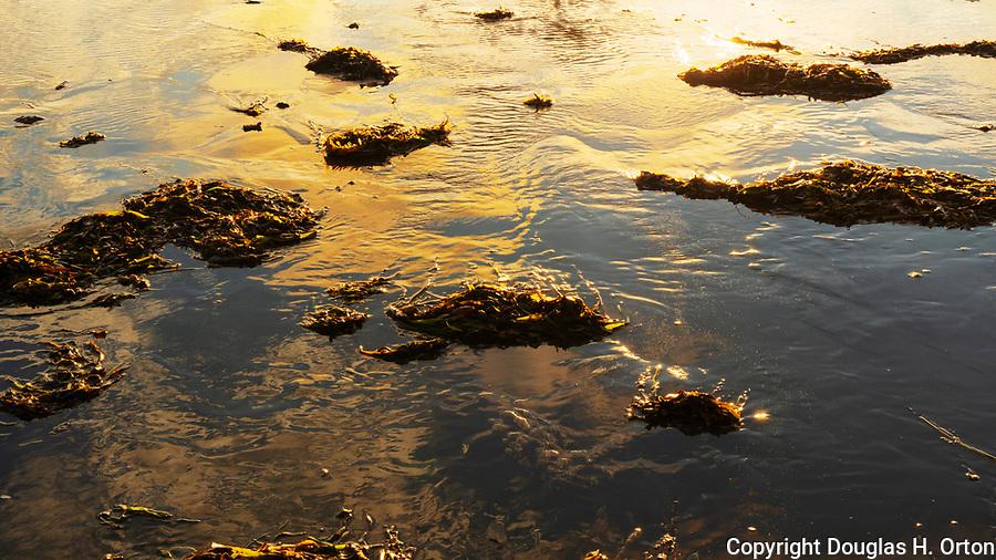 Kelp washes ashore at sunset along Grayland Beach, Washington.  Grayland Beach Stae Park.